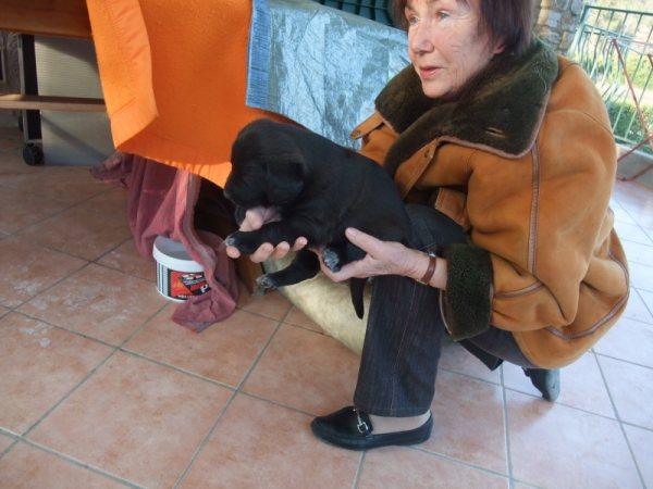 Chiots femelles croisées Labrador à placer dans le VAR Fundy_11