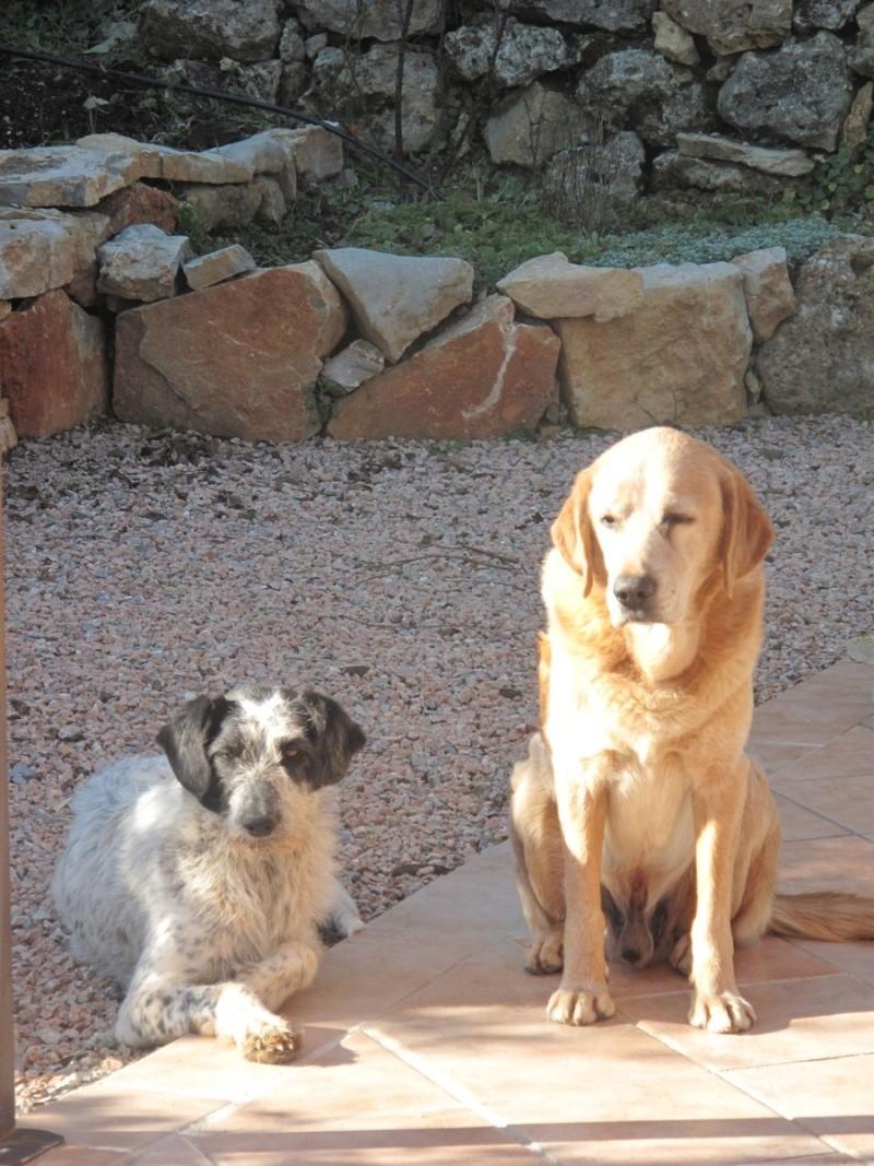 Chiots femelles croisées Labrador à placer dans le VAR Parent10