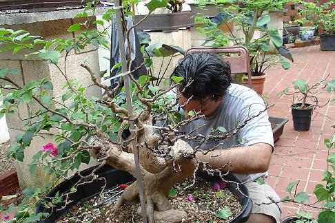 Bougainvillea Glabra Bougai35
