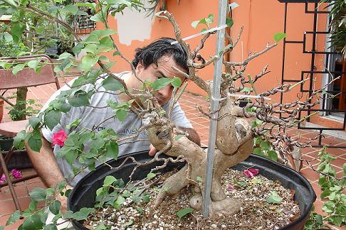 Bougainvillea Glabra Bougai38
