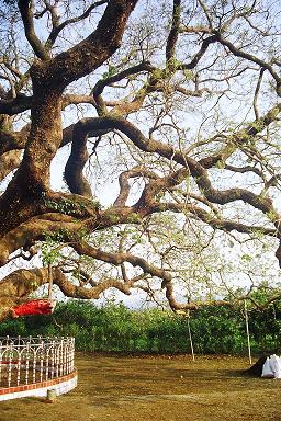 Bougainvillea Glabra Bougai40