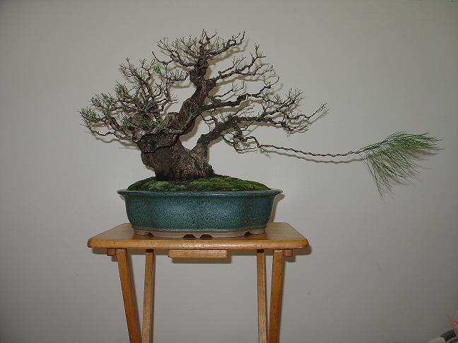 Casuarina Equisetifolia (Cemara Udang or Mu Ma Huang) Casuar10