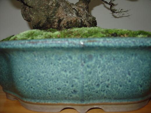 Casuarina Equisetifolia (Cemara Udang or Mu Ma Huang) Lujin_10