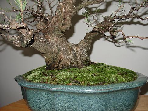 Casuarina Equisetifolia (Cemara Udang or Mu Ma Huang) Moss10