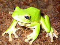 la reproduction massive des grenouilles de Papouasie du Sud en Australie Equatoriale 00rain12