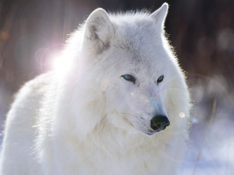 Que représentent pour vous les loups ? - Page 2 57152110
