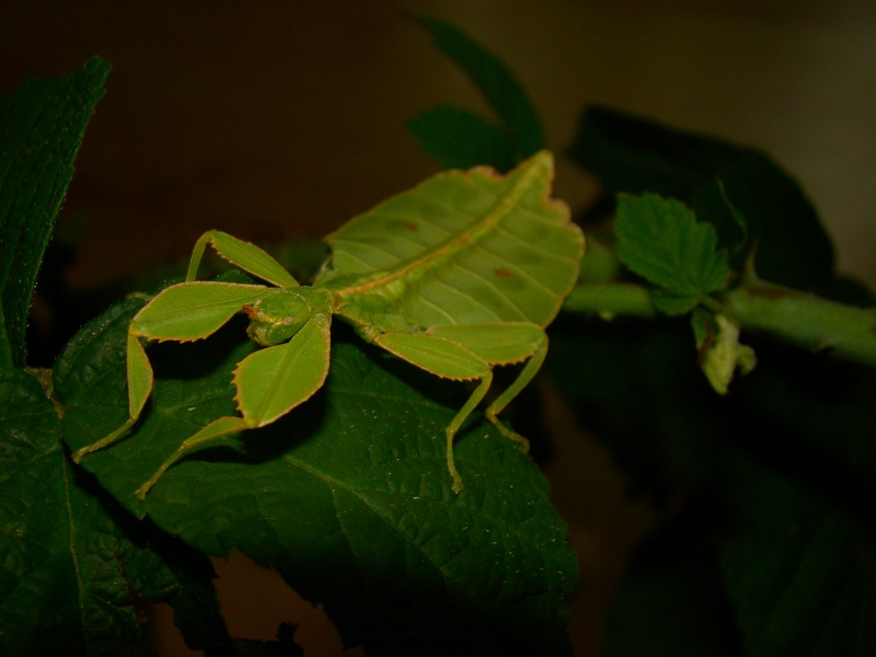 [Phyllium philippinicum (PSG 278)] Photo130