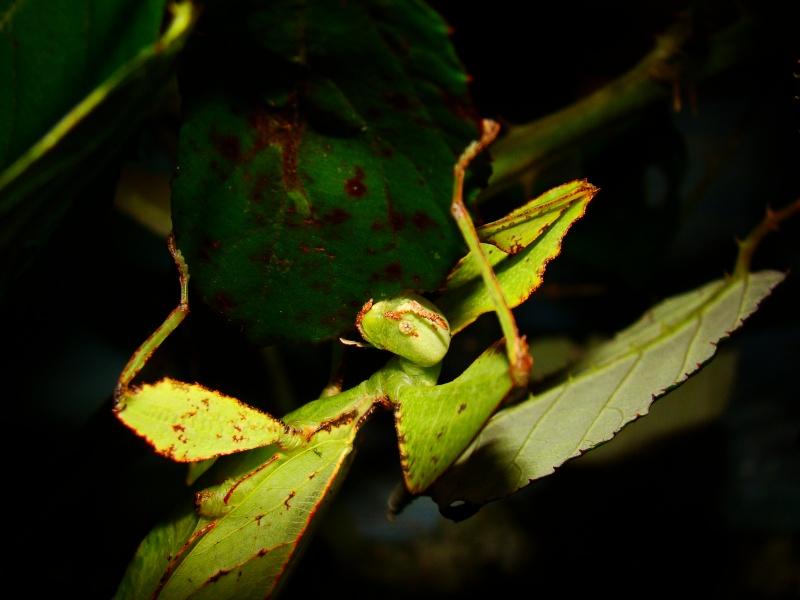 Phyllium westwoodii (celebicum) ( PSG 128) Photo_13