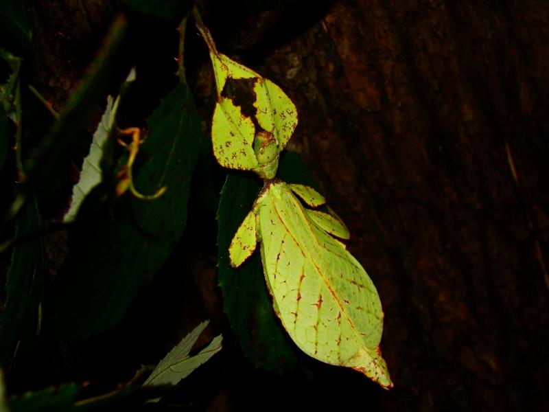 Phyllium westwoodii (celebicum) ( PSG 128) Photo_14