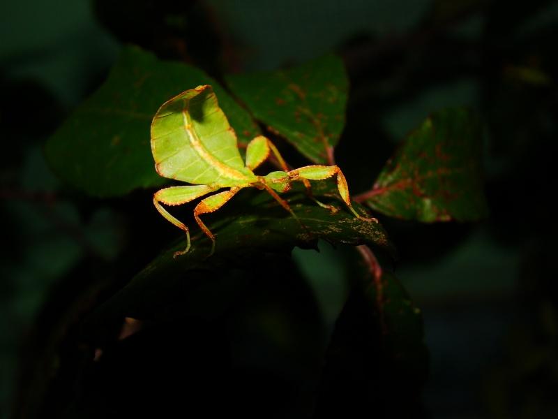 [Phyllium philippinicum (PSG 278)] Photo_22