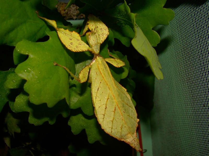 Phyllium westwoodii (celebicum) ( PSG 128) Photo_44