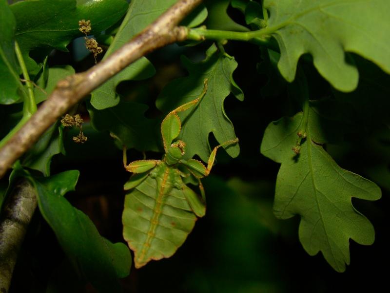 [Phyllium philippinicum (PSG 278)] Photo_88