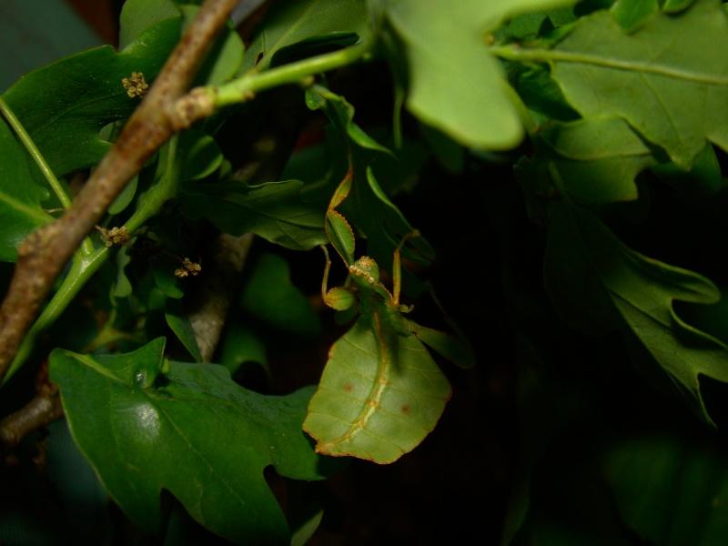 [Phyllium philippinicum (PSG 278)] Photo_89