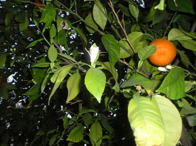 Agrumes autour de chez moi en cette fin février 2010 P_02610