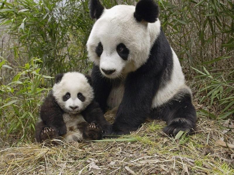 Vos photos du moment :) Panda-10