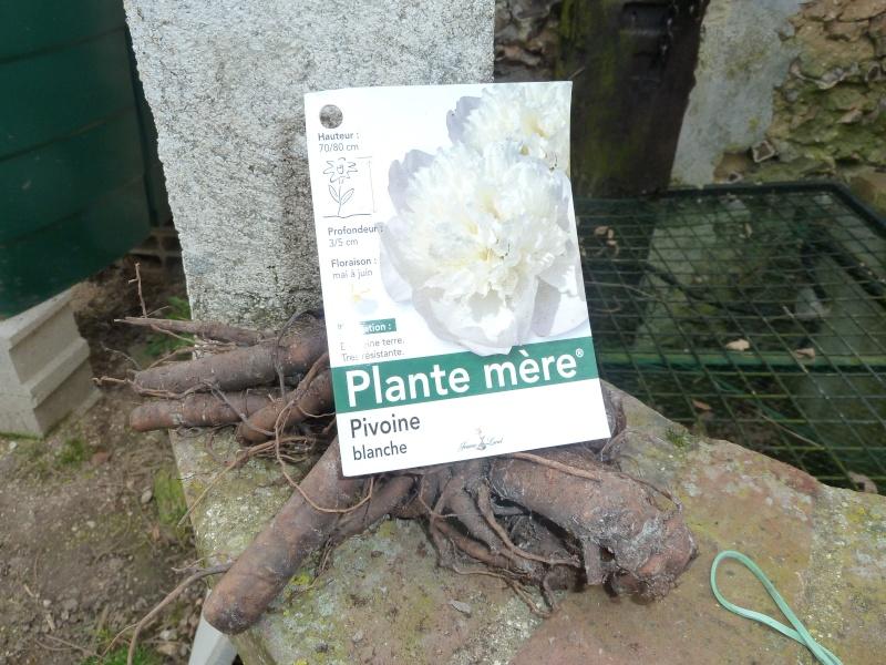 Pivoines herbacées 00110