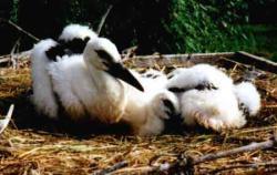 animaux libres Cigogn12