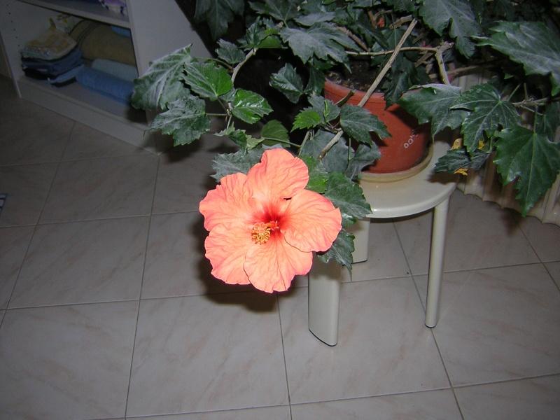 Hibiscus rosa sinensis - Page 2 Hibisc10