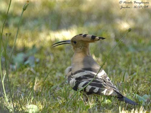 Reconnaitre les oiseaux de nos jardins... - Page 3 Huppe-10