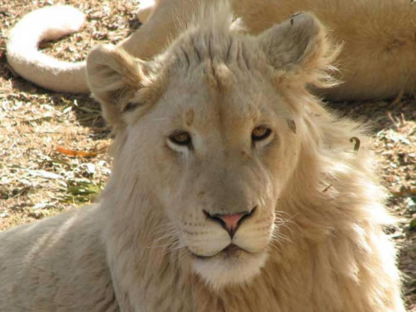 Félins Lionbl10