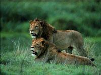 Félins Lions10