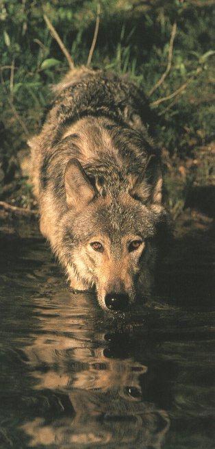 chiens de traineaux Loup_s10