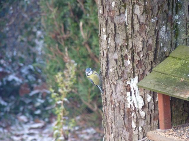 Reconnaitre les oiseaux de nos jardins... - Page 4 M-sang10