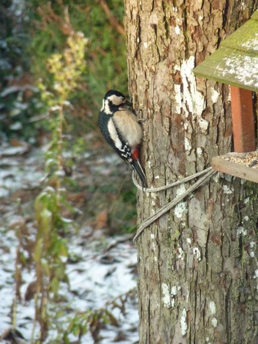 Reconnaitre les oiseaux de nos jardins... - Page 4 Pic_pe10