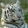 Félins Tigre_10