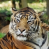 Félins Tigre_11