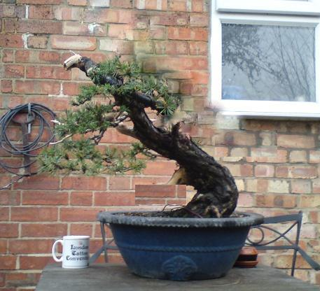 scots pine first styling 00410111