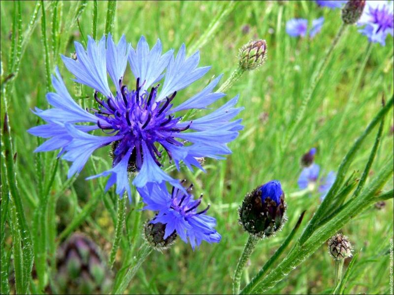 présentation bleuet- Fleur_12