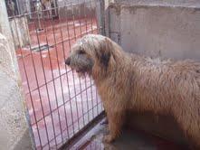 Gongo macho de pasto vasco   o gos de altura  de 1 año ciudad real Gongo10