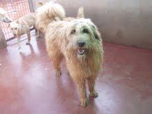 Gongo macho de pasto vasco   o gos de altura  de 1 año ciudad real Gongo110
