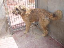 Gongo macho de pasto vasco   o gos de altura  de 1 año ciudad real Gongo410