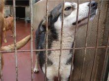 japon x de alaska malamute  de escaso un año  ciudad real Japon410