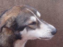 japon x de alaska malamute  de escaso un año  ciudad real Japon610