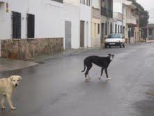 Labrador en la calle Mail111