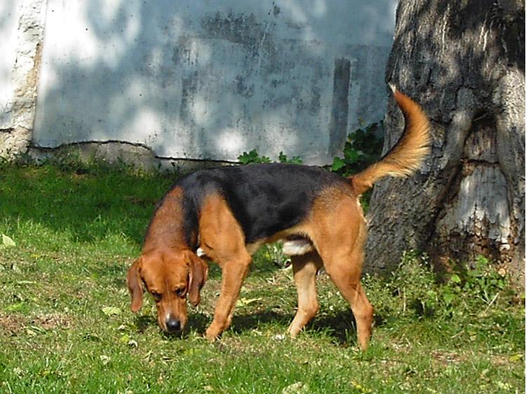 VANDAMME, croisé beagle mâle, 5 ans (86) Vandam12