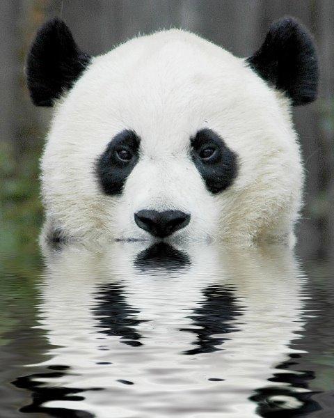 Panda plaza Animal10