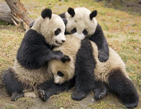 Panda plaza Panda-11