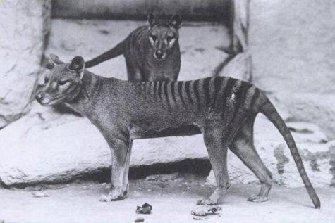 EXTINCT, ENDANGERED, THREATENED (awareness on species) Thylac10