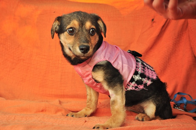 CLEO  adorable X pinscher F-3 mois-2kg    ADOPTEE Cleo10