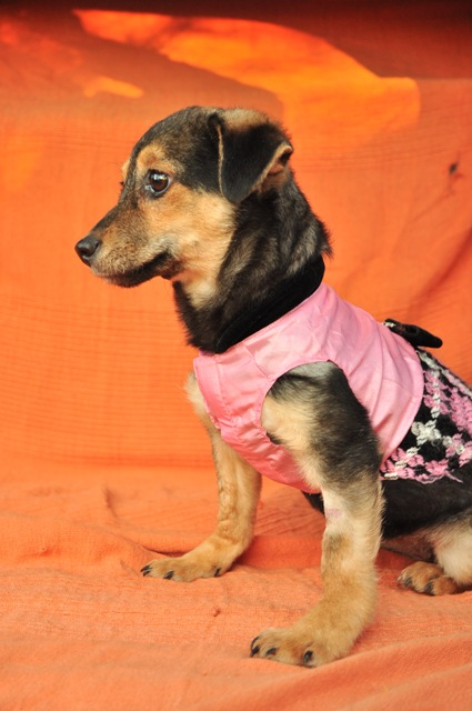 CLEO  adorable X pinscher F-3 mois-2kg    ADOPTEE Cleo2p10