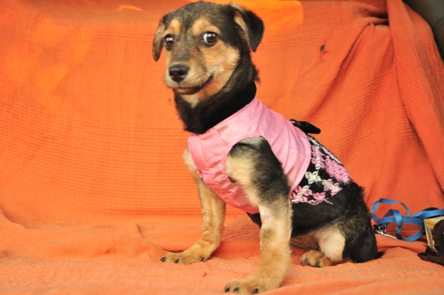 CLEO  adorable X pinscher F-3 mois-2kg    ADOPTEE Cleo310
