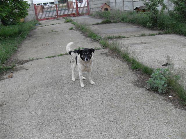 BENJI, X-M, Taille Moyenne - né en 2009 (Tamara) - En FA chez MALENI (Départ59) Sdc13112