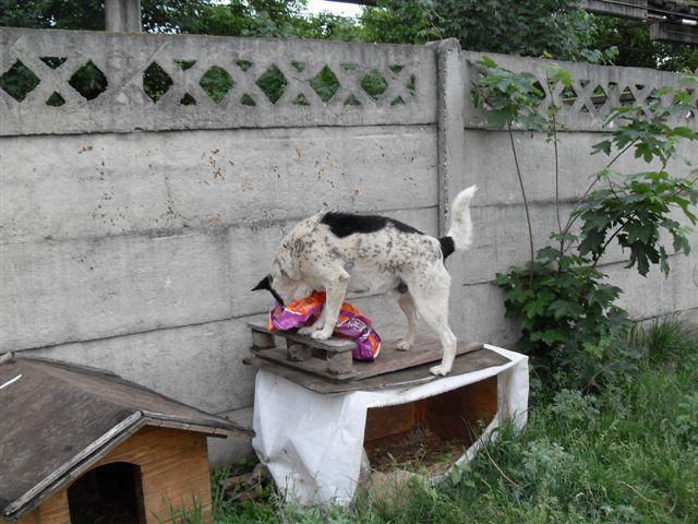 BENJI, X-M, Taille Moyenne - né en 2009 (Tamara) - En FA chez MALENI (Départ59) Sdc13113