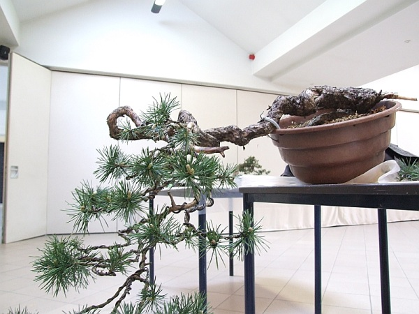 Scots pine Eukwak10
