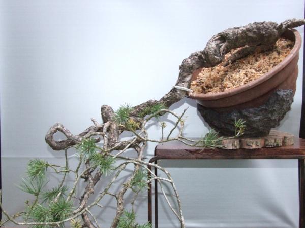 Scots pine Pinuss10