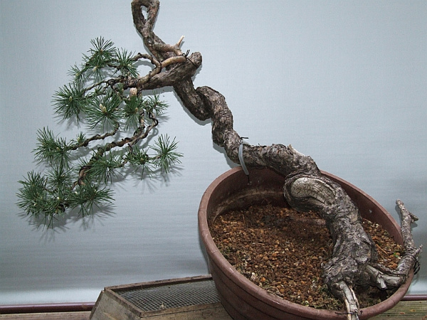 Scots pine Pinuss11